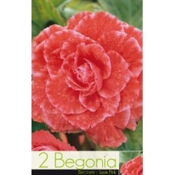 Begonia bulbi Lace Pink