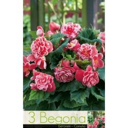 Begonia bulbi Camelia