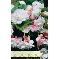 Begonia bulbi Odorata Pink&White