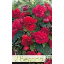 Begonia bulbi Odorata Rose & Red
