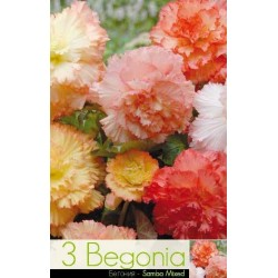 Begonia bulbi Samba mix