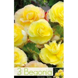 Begonia bulbi Superba Yellow