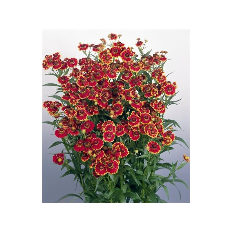 "Helenium autumnale ""Helena Red Shades"""