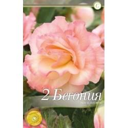 Begonia bulbi Picotee Pastel Salmon