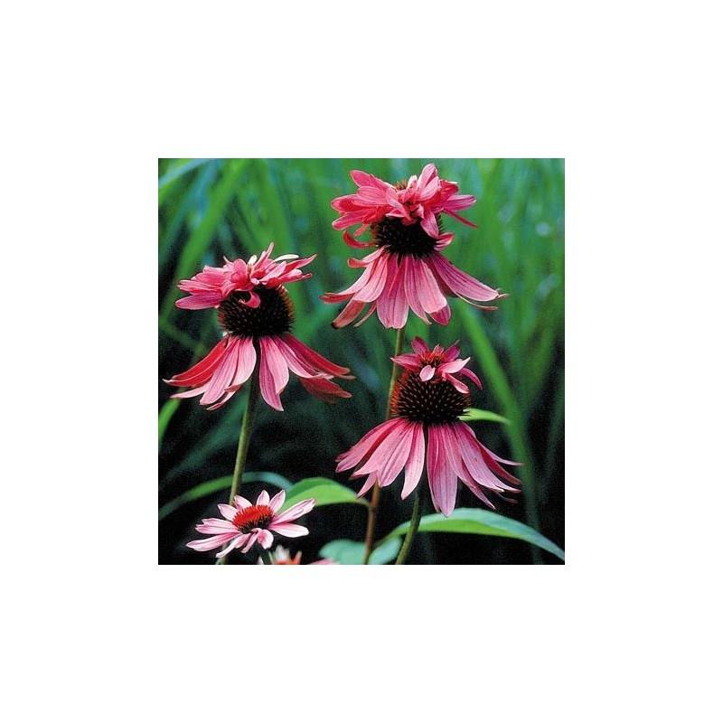 """Echinaceea purpurea """"Doubledecker"""""""