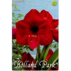 Amaryllis Red