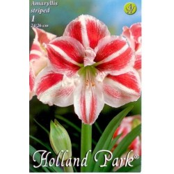 Amaryllis Striped