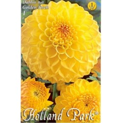 Dahlia ball Golden Torch