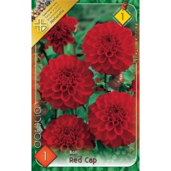 Dahlia ball Red Cap