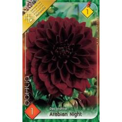 Dahlia Arabien Night