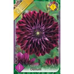 Dahlia Osirium