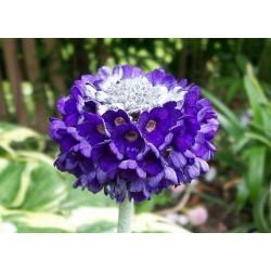 """Primula capitata """"Noverna Deep Blue"""""""