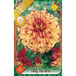 Dahlia Lady Darlene