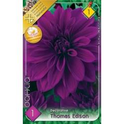 Dahlia Thomas Edison