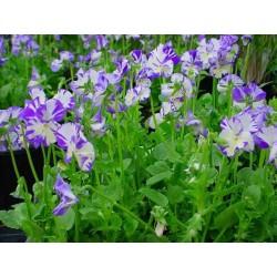"Viola pubescens ""Rebecca Cawthorn"""