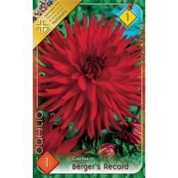 Dahlia cactus Berger's Record