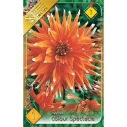 Dahlia cactus Colour Spectacle