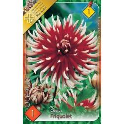 Dahlia cactus Friquolet