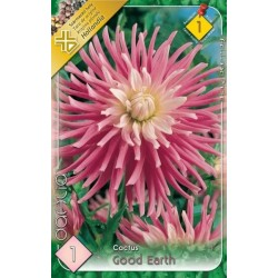 Dahlia cactus Good Earth