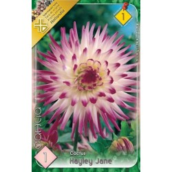 Dahlia cactus Hayley Jane
