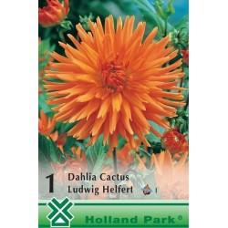 Dahlia cactus Ludwig Helfert