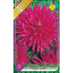 Dahlia cactus Purple Gem