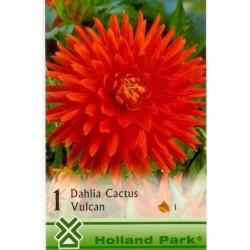 Dahlia cactus Vulcan