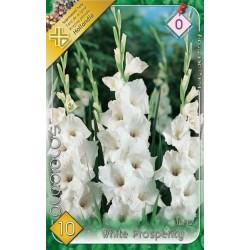 Gladiole White Prosperity