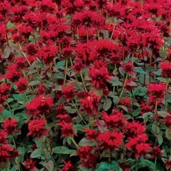 "Monarda didyma ""Red Shades"""