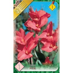 Canna indica Pink