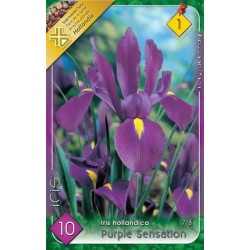 Iris hollandica Purple Sensation