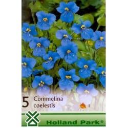 Commelina coelestis