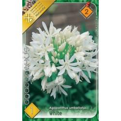 Agapanthus umbellatus White