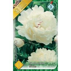 Paeonia sinensis White
