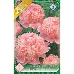 Paeonia sinensis Pink