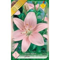 Lilium asiatic Pink