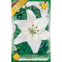 Lilium asiatic White