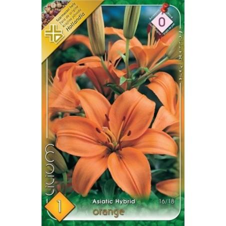 Lilium asiatic Orange - 1 bulb KM