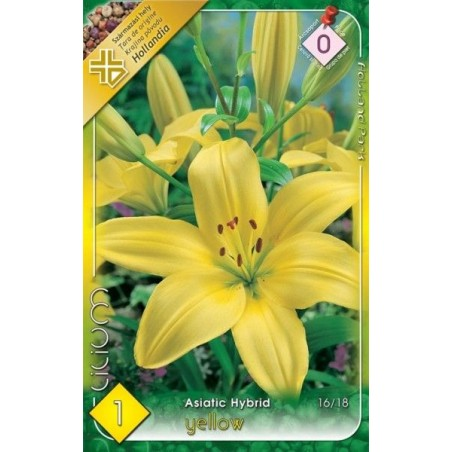 Lilium asiatic Yellow - 1 bulb KM