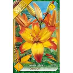 Lilium asiatic Cancun