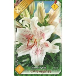 Lilium oriental Extravaganza
