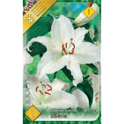 Lilium oriental Siberia