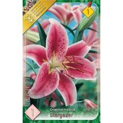 Lilium oriental Star Gazer