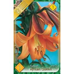 Lilium trumpet African Queen