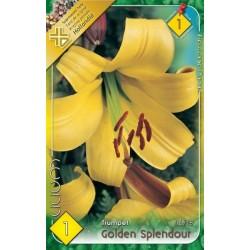 Lilium trumpet Golden Splendour