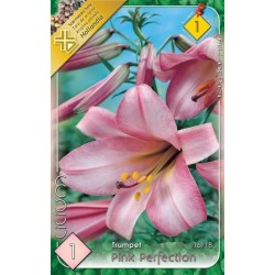 Lilium trumpet Pink Perfection