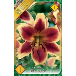 Lilium Red Dutch
