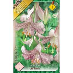 Lilium longiflorum Lankon