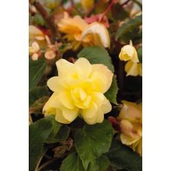 Begonia tuberhybrida Illumination Lemon