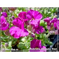 Aubrieta hybrida Regado Red